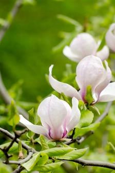 Красивое дерево магнолии цветет весной.