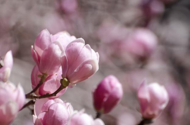 Beautiful magnolia tree blossoms in springtime.