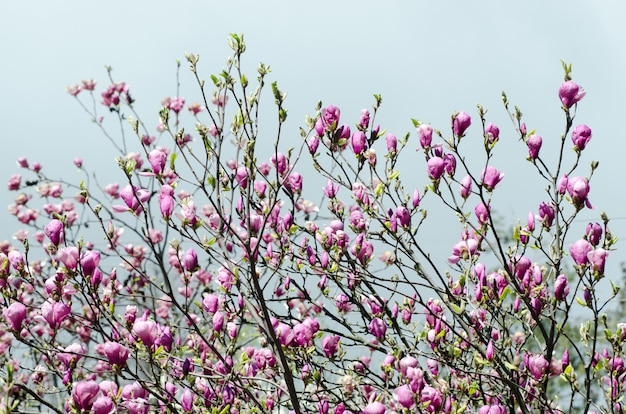 Beautiful magnolia tree blossoms in springtime.