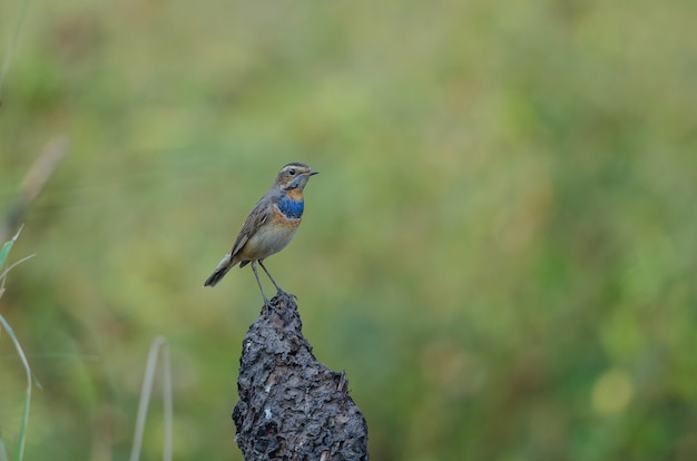 Beautiful male bluethroat (luscinia svecica)