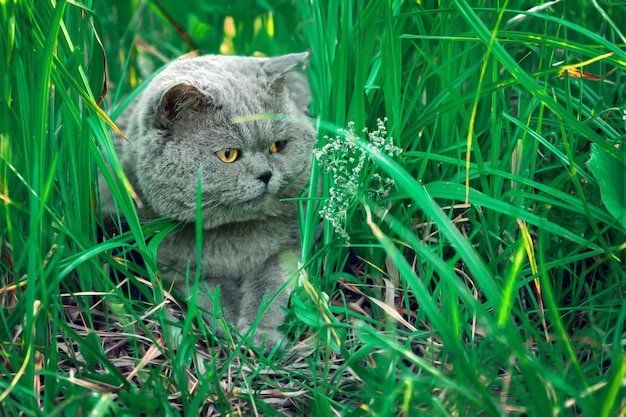 Beautiful male british shorthair cat lying in high green grass at countryside