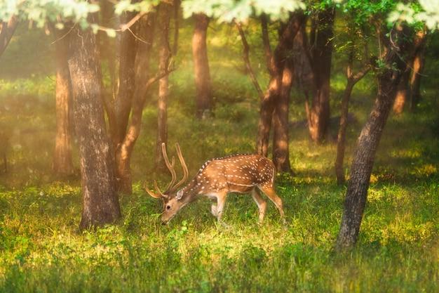 Красивый мужской читал или пятнистый олень в национальном парке рантхамбор, раджастхан, индия
