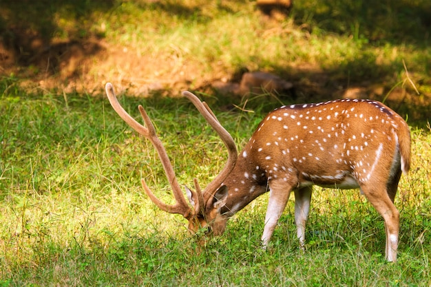 インド、ラジャスタン、ランタンボア国立公園の美しい男性のキタルまたは斑点を付けられたシカ