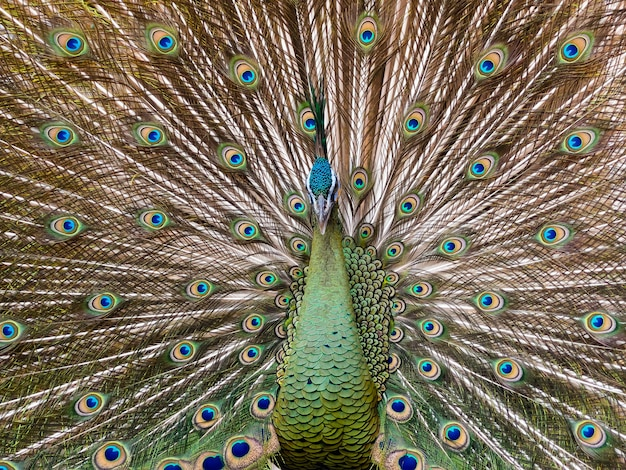 Beautiful male peacock, showing its tail