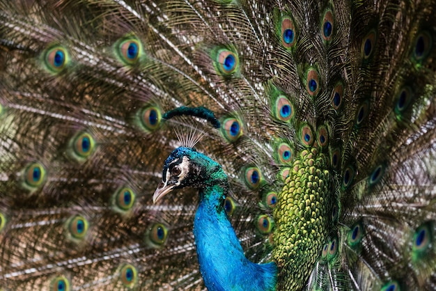 Beautiful male peafowl with opened feathers