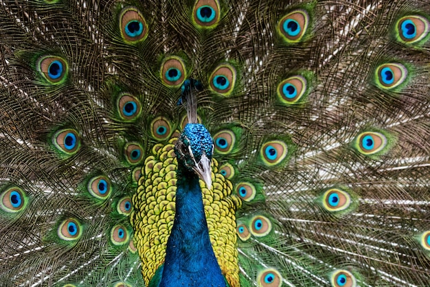 Bellissimo pavone maschio con piume aperte