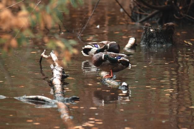 Beautiful mallard duck preening its feathers, standing on a branch