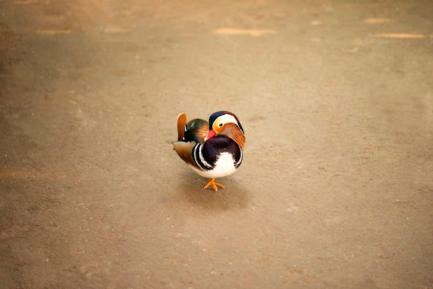 庭でポーズをとっているかわいい羽を持つ美しいオシドリ。