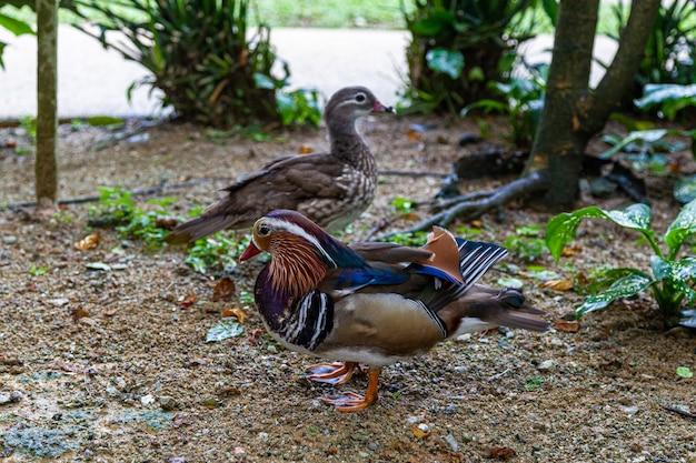 Красивые утки-мандаринки на берегу пруда. малайзия