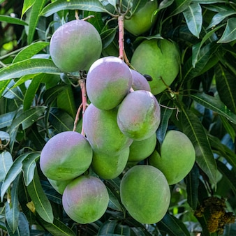 Beautiful mangoes on the tree