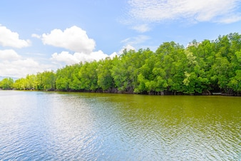 Beautiful mangrove forest landscape in thailand
