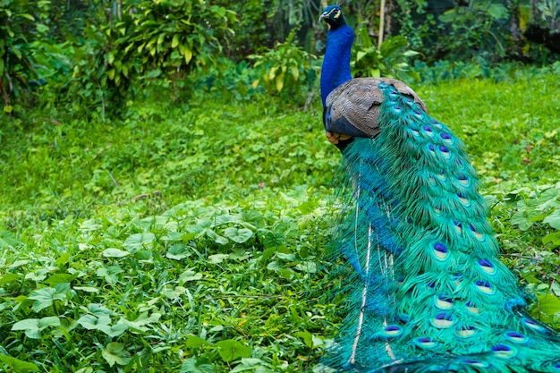 A beautiful manicured peacock walks in a green bird park.