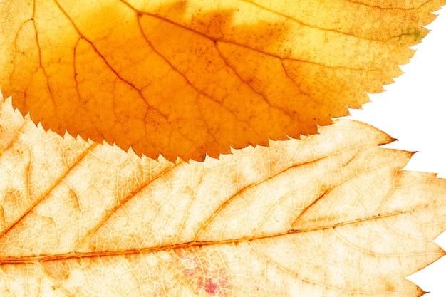 Beautiful maple leaf close-up. high quality photo