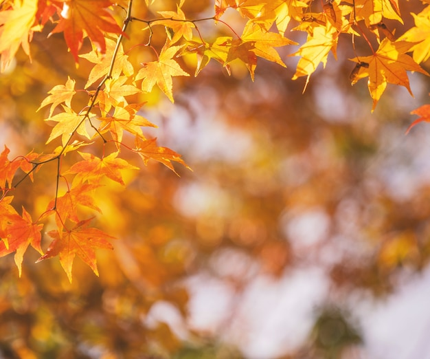 Beautiful maple leaves in autumn sunny day in foreground and blurry background in kyushu, japan