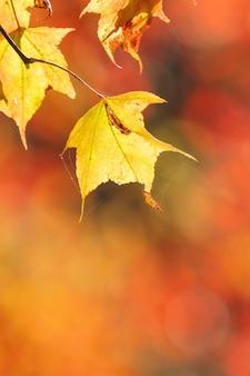 台湾の前景とぼやけた背景で秋の晴れた日に美しいカエデの葉、人がいない、クローズアップ、コピースペース、マクロ撮影。