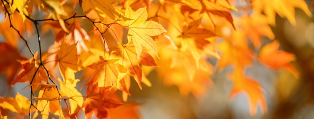 九州の前景とぼやけた背景の秋の晴れた日に美しいカエデの葉。人がいない、クローズアップ、コピースペース、マクロ撮影。