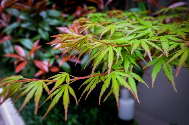 自然の中で美しいカエデの葉