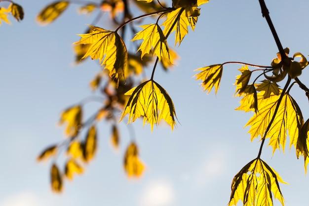 春の美しいカエデの木、森の中の春の天候のカエデの枝のクローズアップ