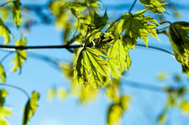 春の美しいカエデの木