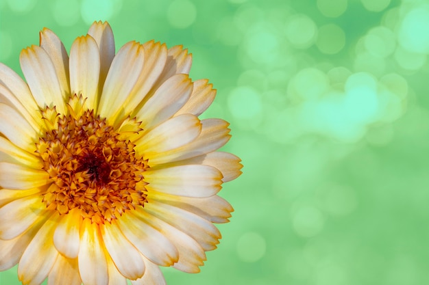 Beautiful marigold flower on green blurred background. festive flowers concept. floral card with flowers, copy space.
