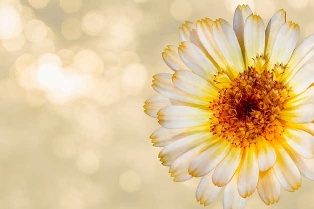 Beautiful marigold flower on yellow blurred background. festive flowers concept. floral card with flowers, copy space.