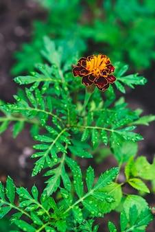 Beautiful marigold flower.