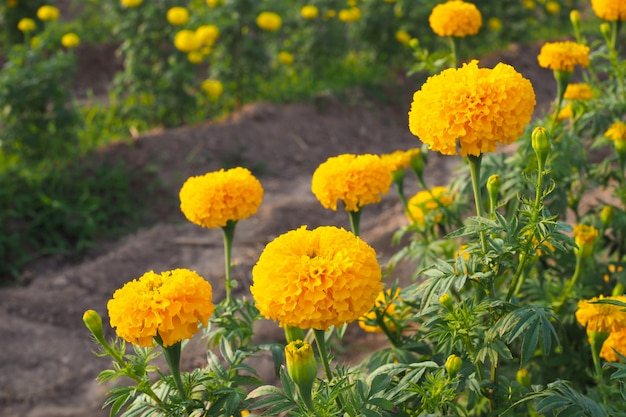 Beautiful marigold flowers with green leaves in the meadow in garden for background