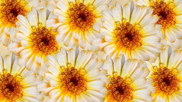 Beautiful marigold flowers on yellow blurred background. festive flowers concept. floral card with flowers.