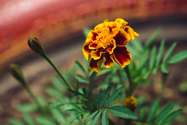 Beautiful marigold grow among greenery. small velvet red and yellow flower in flowerbed close up. background of tagetes in pink bed with copy space.