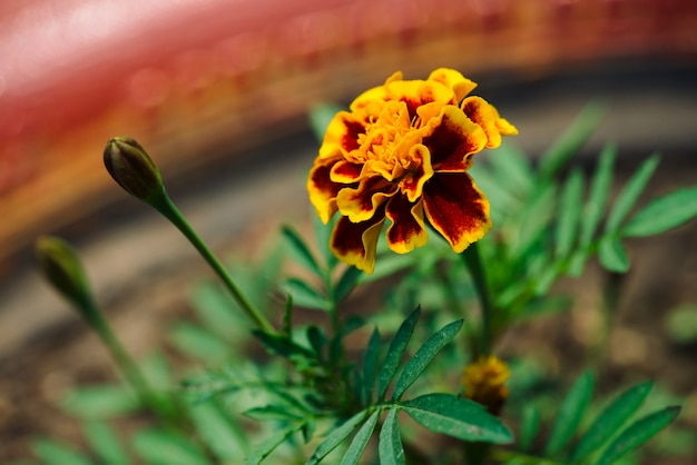 Beautiful marigold grow among greenery.