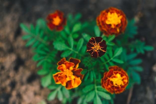 Beautiful marigolds grow among greenery.