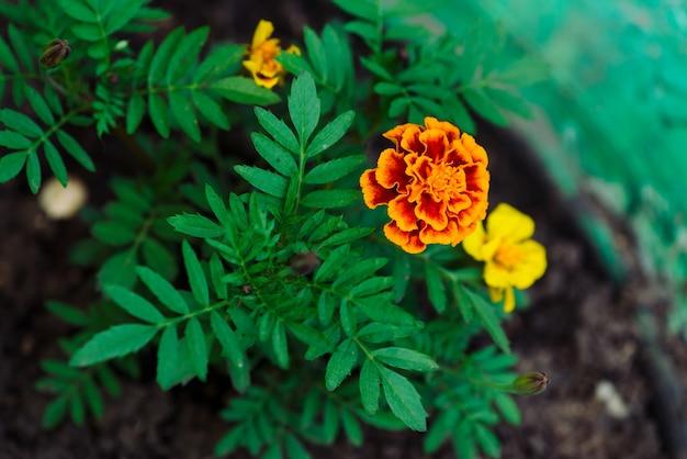 Beautiful marigolds grow among greenery.