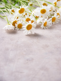 Beautiful meadow chamomile on a pink-gray background. concept botanical flat lay. close up and copy space image