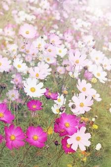 아름다운 초원 꽃 코스모스, 큰 가지각색의 숲 사이의 빈터