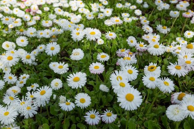 白黄色の花と緑の草の浅い被写界深度を持つ春に咲くヒナギクの美しい牧草地