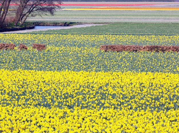 Красивый луг желтых нарциссов в весеннее время