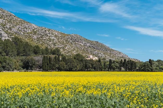 스페인 팔마 데 마요르카 시에라 데 트라문타나에 있는 노란색 데이지 euryops pectinatus의 아름다운 초원