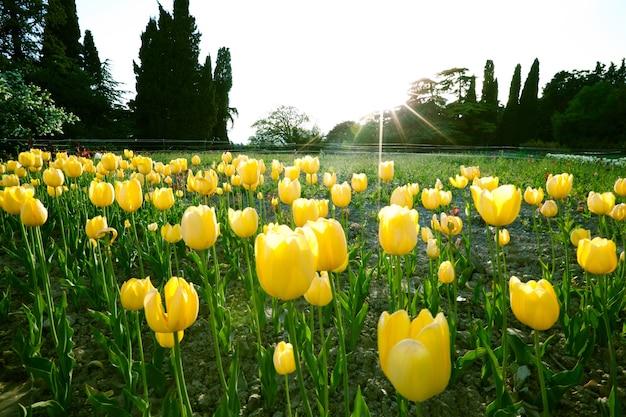 黄色いチューリップの美しい魅惑的なフィールド