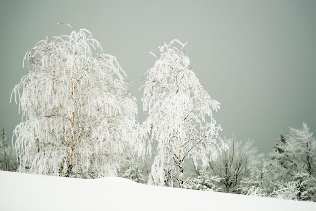 曇った冬の凍るような日の霧を背景に、雪の吹きだまりや山の斜面に立つ雪に覆われたモミの木の美しく魅惑的な過酷な風景。広告の場所