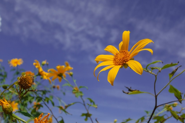 Beautiful mexican sunflower are blooming with sky blue