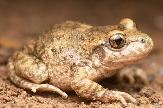 Beautiful midwife toad with golden eyes on a road at night