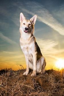 Красивая собака дворняга заделывают в фоне освещения заката.