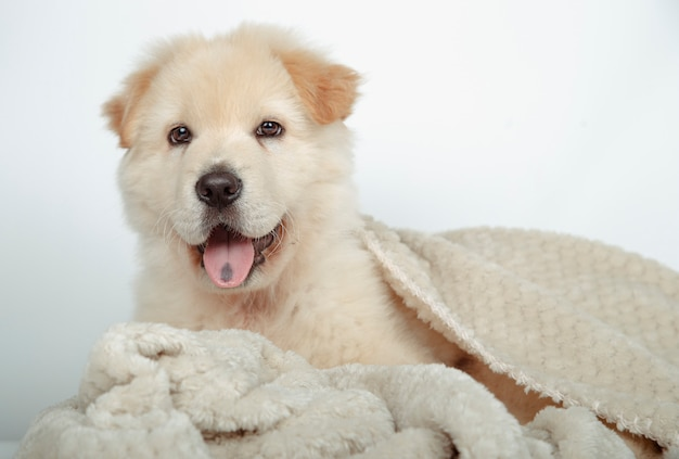 Beautiful mongrel puppy surrounded with his blanket