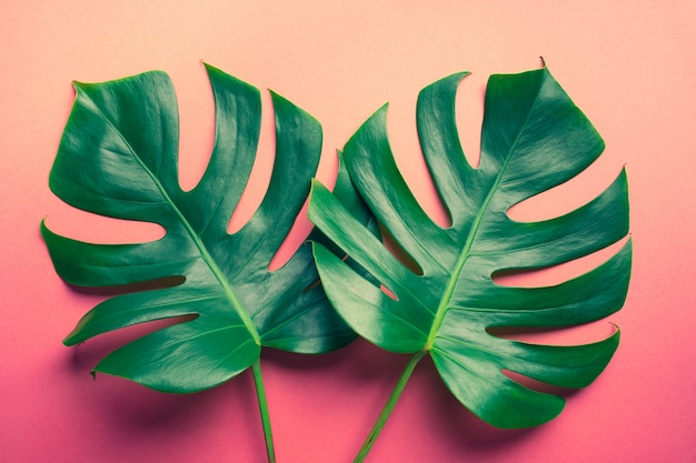Beautiful monstera leaves on colorful background