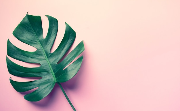 Beautiful monstera leaves (leaf) on colorful for decorating composition design