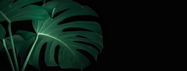 Красивые листья монстеры на черном, фоне баннера