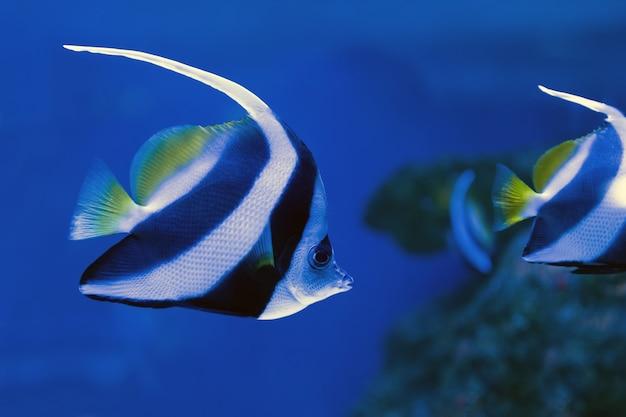 水族館で泳ぐ美しいツノダシ