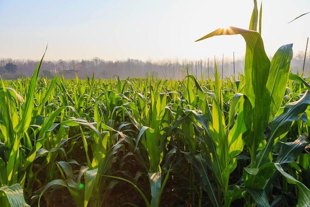 Beautiful morning the corn field