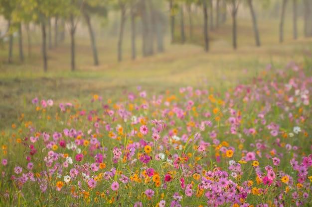 庭の美しい朝のコスモス
