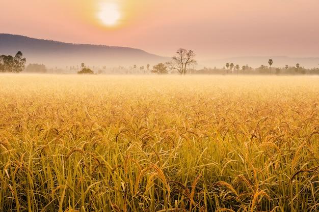 田んぼの美しい朝の霧。